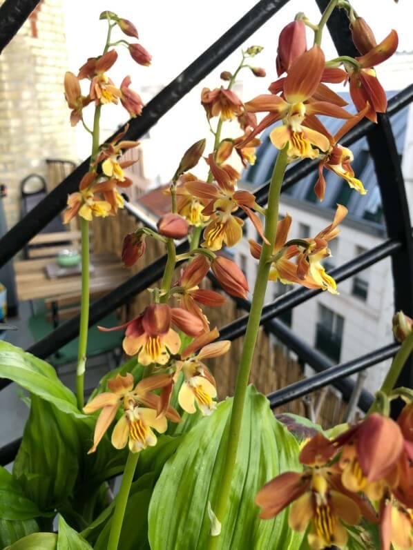 Nouvelle floraison de ma potée de calanthe sur mon balcon ...