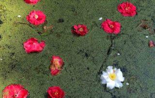 Fleurs de camélias et lentilles d'eau à la surface d'un bassin, au début du printemps dans le Parc floral, Paris 12e (75)