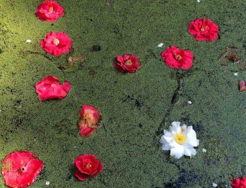 Le bassin aux camélias du Parc floral de Paris