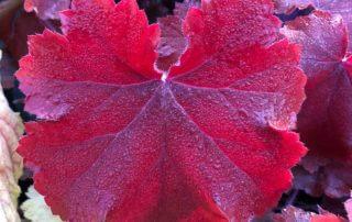 Heuchera 'Maple Leaf', Sandrine et Thierry Delabroye, Fête des Plantes Printemps, château de Saint-Jean de Beauregard (91)