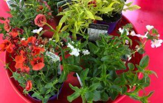 Plantes annuelles, jeunes plants achetés à la Fête des Plantes printemps de Saint-Jean de Beauregard, Saint-Jean de Beauregard (91)