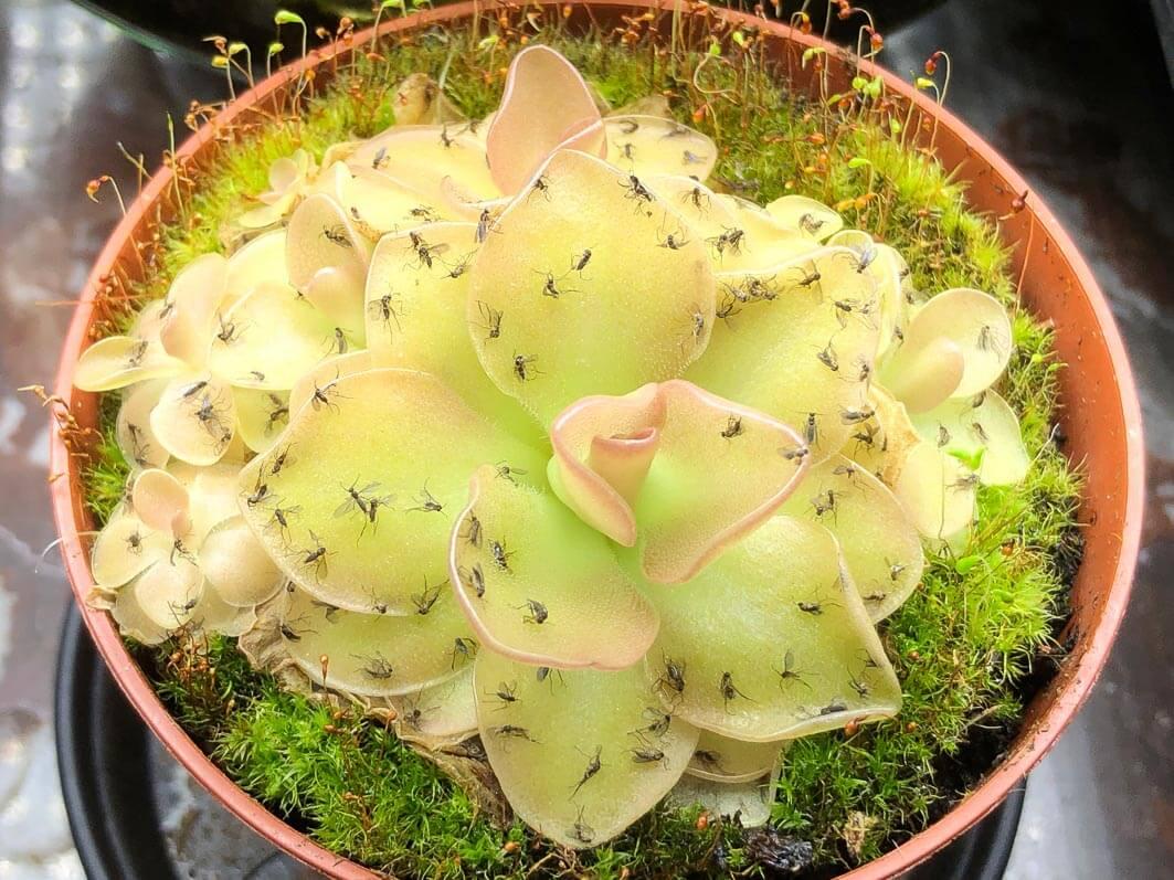 Moucherons sur Pinguicula 'Weser', plante carnivore, plante d'intérieur, Paris 19e (75)