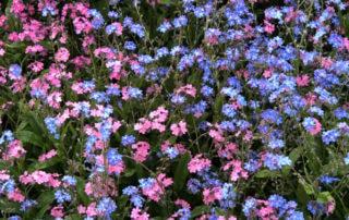 Tapis de myosotis dans la vallée au printemps, Parc Floral de Paris, Paris 12e (75)