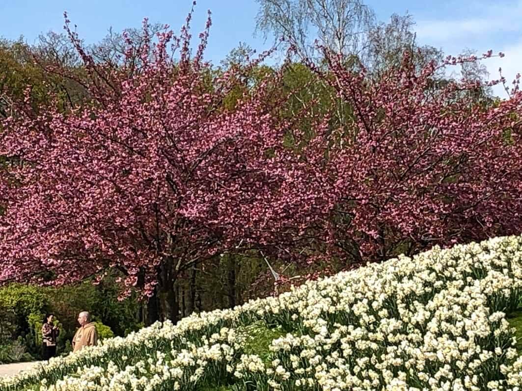 Narcisses et Prunus au début du printemps dans le Parc floral, Paris 12e (75)