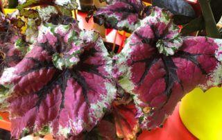 Begonia Rex hybride à feuilles spiralées, plante d'intérieur, Paris 19e (75)