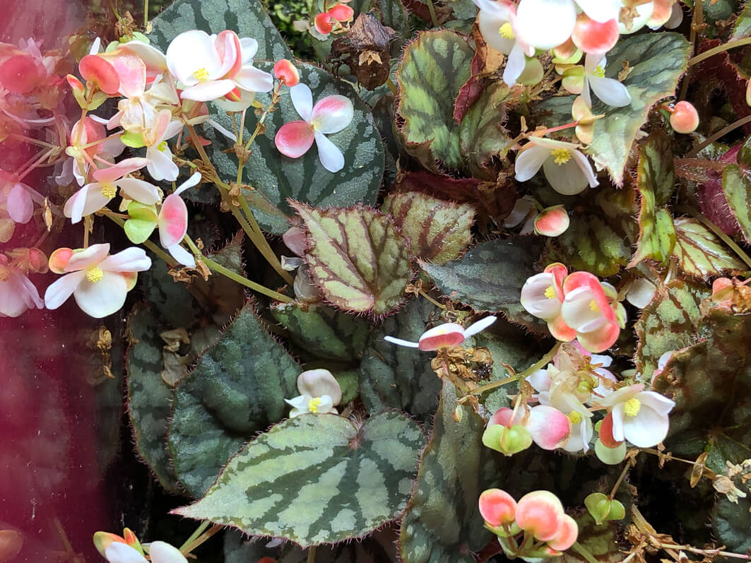Begonia luzoniensis, Bégoniacées, culture indoor, terrarium, plante d'intérieur, Paris 19e (75)