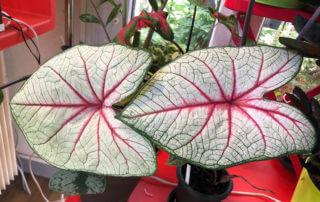 Caladium 'White Queen', Araceae, plante d'intérieur, Paris 19e (75)