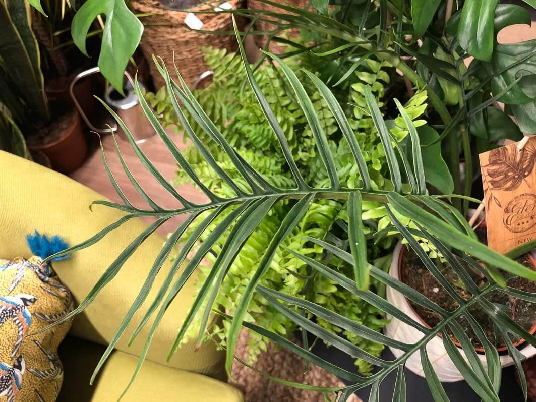 Philodendron polypodioides, pop up store Truffaut, Le Marais, Paris 4e (75)