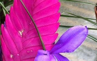Tillandsie bleue, Tillandsia cyanea, Festival international des jardins, Chaumont-sur-Loire (41)