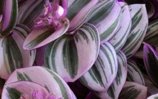 Tradescantia 'Nanouk', plante d'intérieur, Paris 19e (75)