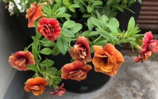 Calibrachoa 'Calita Double Orange' au printemps sur mon balcon parisien, Paris 19e (75)