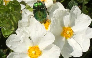 Cétoine sur fleurs de ciste au printemps dans le Jardin Curial, Paris 19e (75)