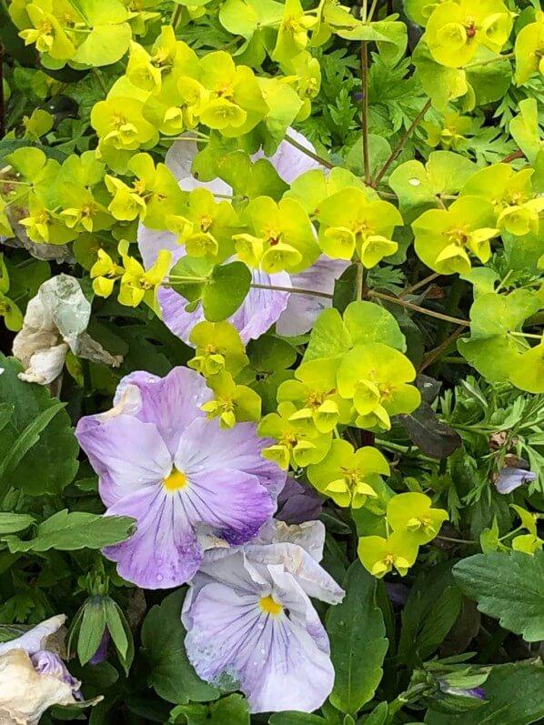 Pensées et euphorbe au printemps dans le Domaine de Chaumont-sur-Loire, Chaumont-sur-Loire (41)