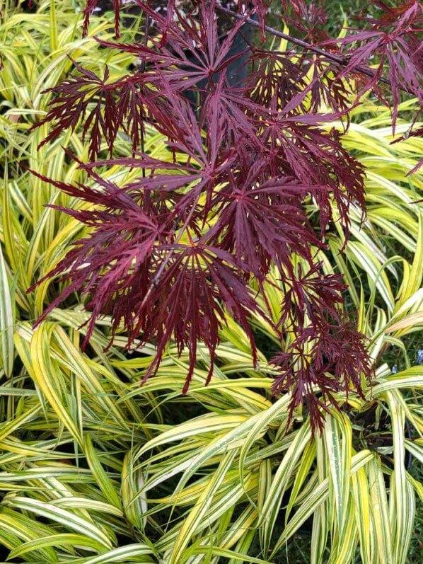 Érable du Japon (Acer palmatum 'Dissectum') et herbe du Japon (Hakonechloa macra 'Aureola'), Plantes Plaisirs Passions, La Roche-Guyon (95)