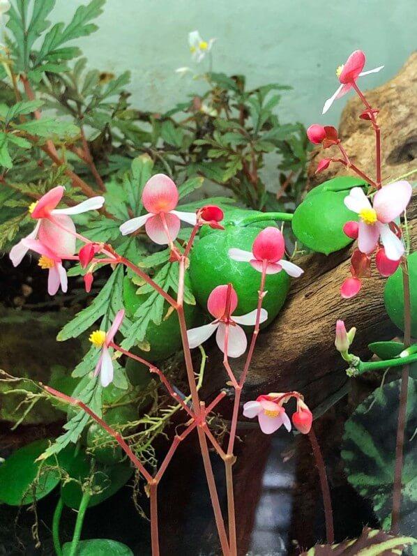 Fleurs du Begonia cleopatreae, plante d'intérieur, terrarium, Paris 19e (75)