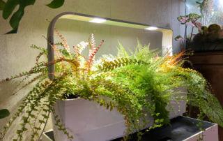 Fougères, Adiantum caudatum, Nephrolepis exaltata 'Suzi Wong', jardin d'intérieur Tregren 12, plante d'intérieur, Paris 19e (75)