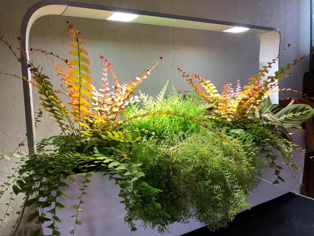 Nephrolepis exaltata 'Suzi Wong', Adiantum caudatum, fougères, Tseries Kitchen Garden Tregren, plante d'intérieur, Paris 19e (75)