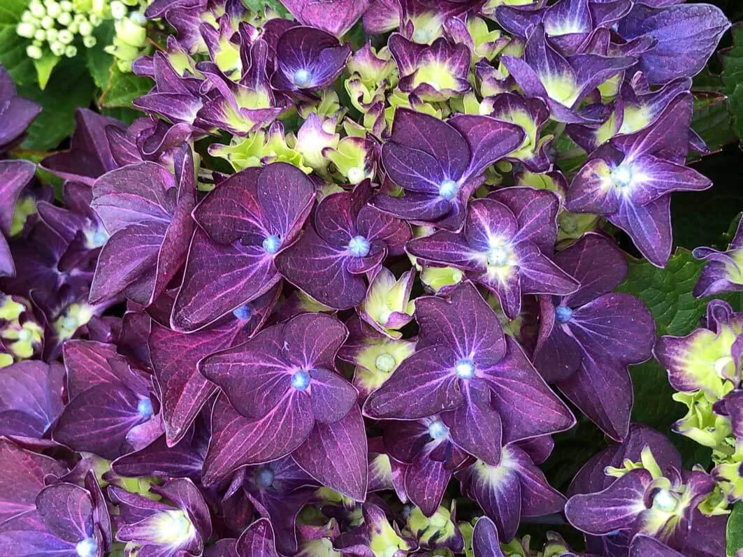Hortensia, Hydrangea macrophylla 'Deep Purple Dance', Journées des Plantes de Chantilly, Chantilly (60)