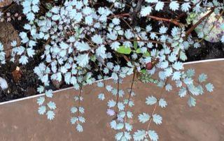 Lampourde (Acaena), plante vivace, Festival international des jardins, Chaumont-sur-Loire (41)