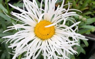 Leucanthemum x superbum 'Shapcott Gossamen', Sandrine et Thierry Delabroye, Journées des Plantes de Chantilly, Chantilly (60)