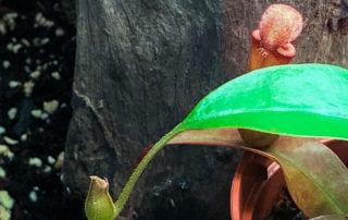 Jeune urne de Nepenthes 'Bloody Mary', plante d'intérieur, Paris 19e (75)