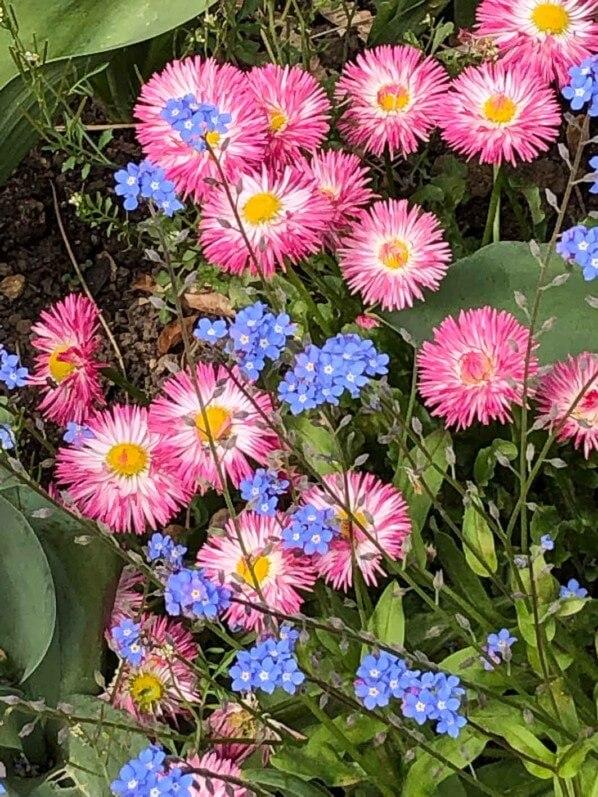 Pâquerettes et myosotis au printemps dans le Parc Floral de Paris, Paris 12e (75)