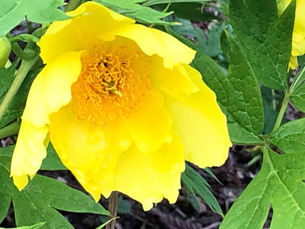 Pivoine arbustive, Paeonia lutea var. ludowlii, au printemps dans le Parc Floral de Paris, Paris 12e (75)