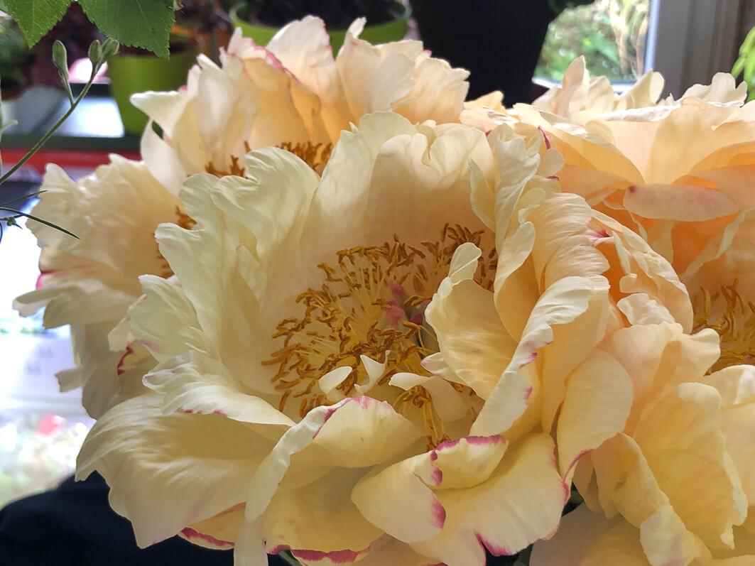Pivoines, bouquet, Paris 19e (75)