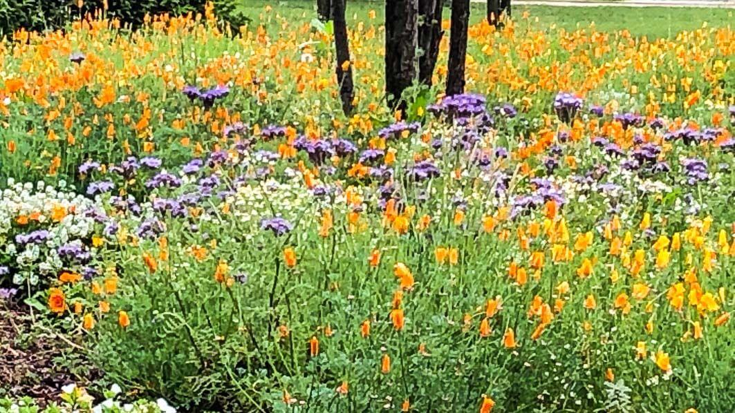 Prairie fleurie au printemps dans le parc de Passy, Paris 16e (75)