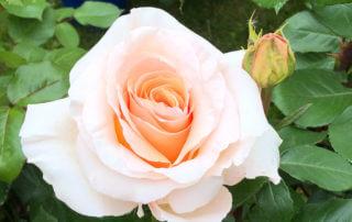 Rose 'Bérénice', Édirose, Journées des Plantes de Chantilly, Chantilly (60)