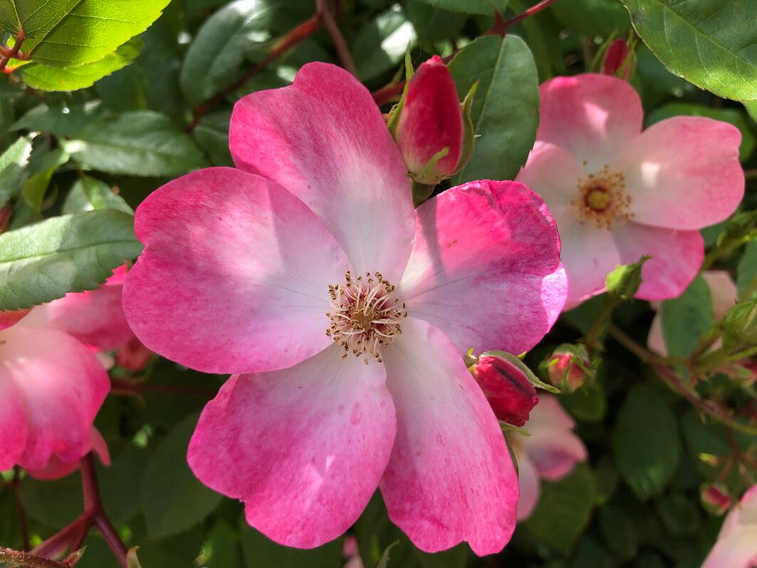 Roses au printemps dans le Jardin Curial, Paris 19e (75)