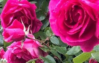 Rosier grimpant fleuri au printemps, Laplace (94)