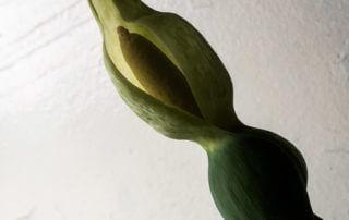 Spathe du Caladium 'White Christmas', Araceae, plante d'intérieur, Paris 19e (75)