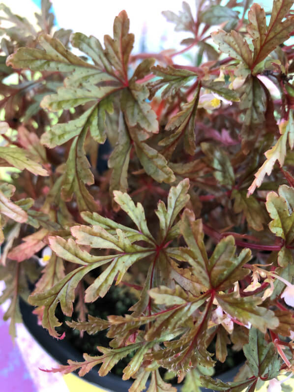 Begonia polilloensis, Bégoniacées, terrarium, Paris 19e (75)