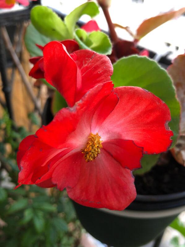 Begonia Volumia rouge au printemps sur mon balcon parisien, Paris 19e (75)
