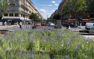 Tapis de bleuets, fleurs annuelles, BiodiversiTerre, place de la République, Paris (75)