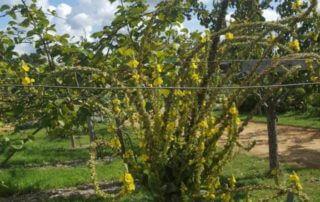 Bouillon blanc (Verbascum), jardin Potager-fruitier du château de la Roche-Guyon, photo LRG