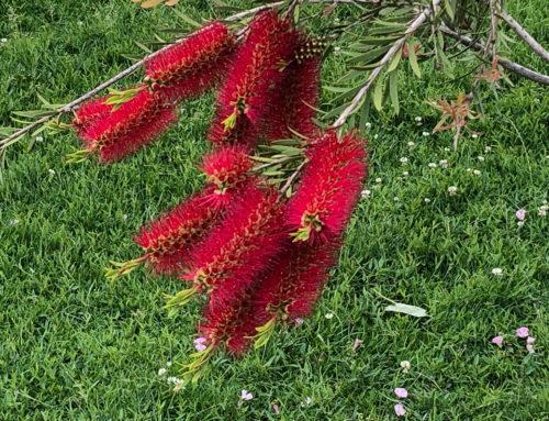 Belle floraison d'une plante rince-bouteille au Jardin des Plantes de Paris