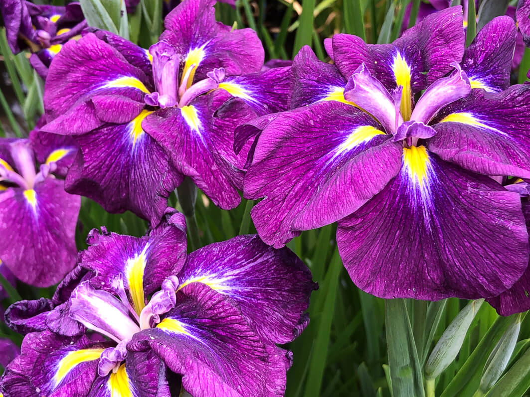 Iris ensata 'Geisha Hiskiki' au printemps dans le parc de Bagatelle, Paris 16e (75)