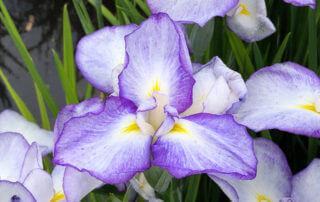 Iris ensata 'Gracieuse', au printemps dans le parc de Bagatelle, Paris 16e (75)