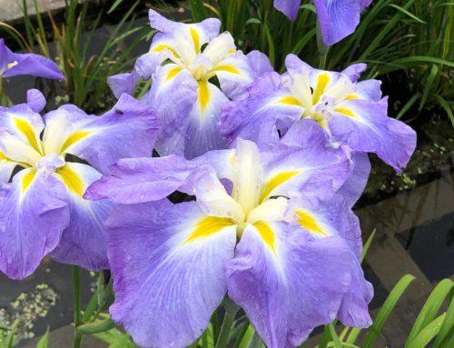 Iris ensata 'Ocean Mist'