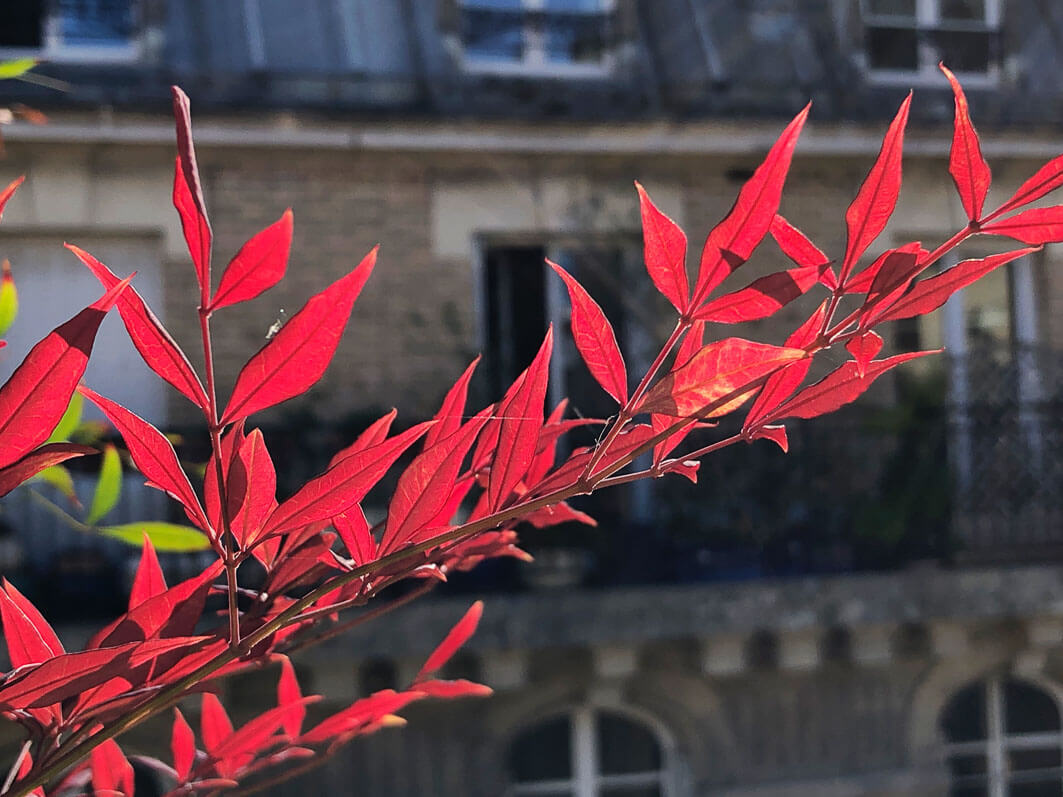 Nandina domestica 'Gulf Stream' au printemps sur mon balcon parisien, Paris 19e (75)