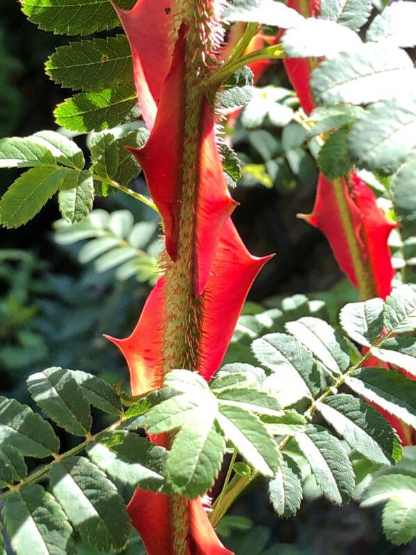 Rosa sericea Pteracantha au printemps dans le parc de Bagatelle, Paris 16e (75)