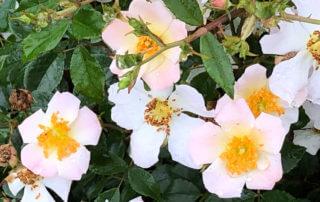 Rose 'Ami Bernard Mando', rosier, au printemps dans le parc de Bagatelle, Paris 16e (75)