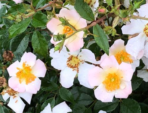 Rose hommage à Bernard Mandô, ancien président de la Roseraie du Val-de-Marne