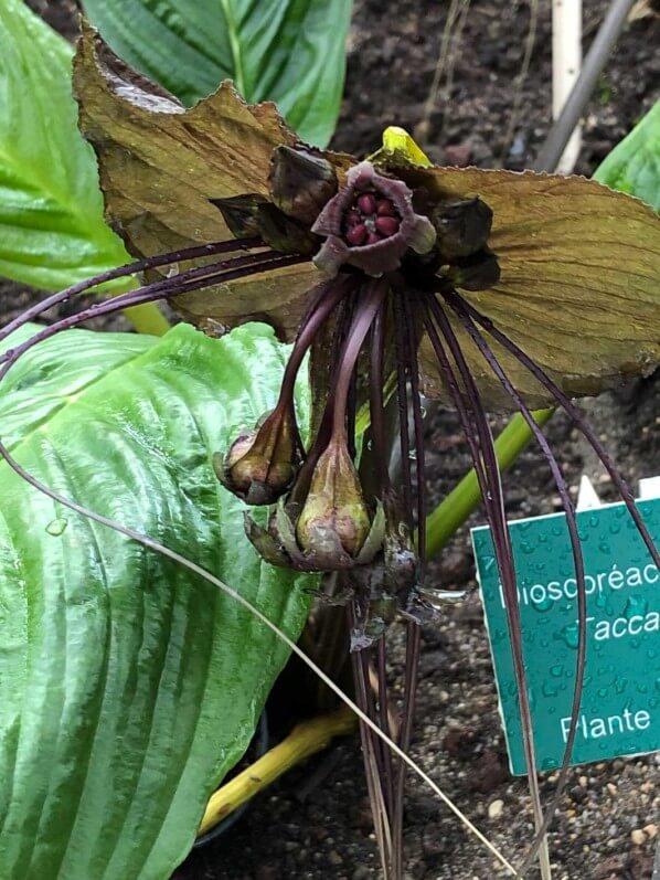 Tacca, Jardin des serres d'Auteuil, Paris 16e (75)