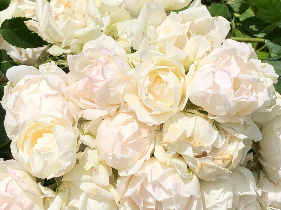 Rose 'Crème Chantilly' au printemps dans le Jardin des Plantes de Paris, Paris 5e (75)