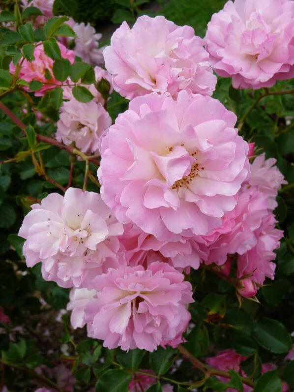 Palissade Rose, Kordes, dans le parc de Bagatelle, Paris 16e (75)