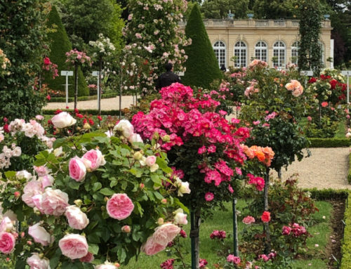 Balade dans la roseraie de Bagatelle très fleurie