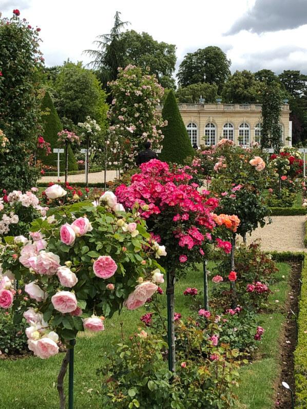 Roseraie dans le parc de Bagatelle, Paris 16e (75)